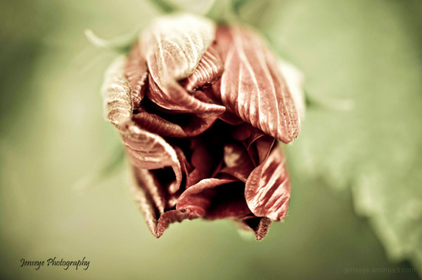 Faded hibiscus Bud Flower Plant