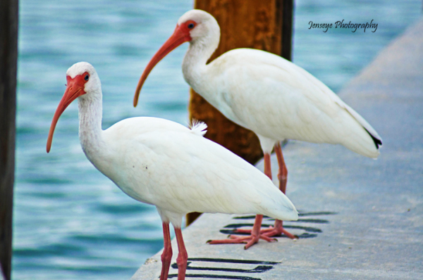 Animal Bird White Ibis Key West Florida