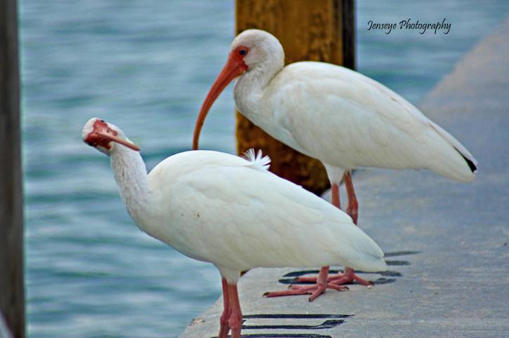 Animal White Ibis Key West Florida