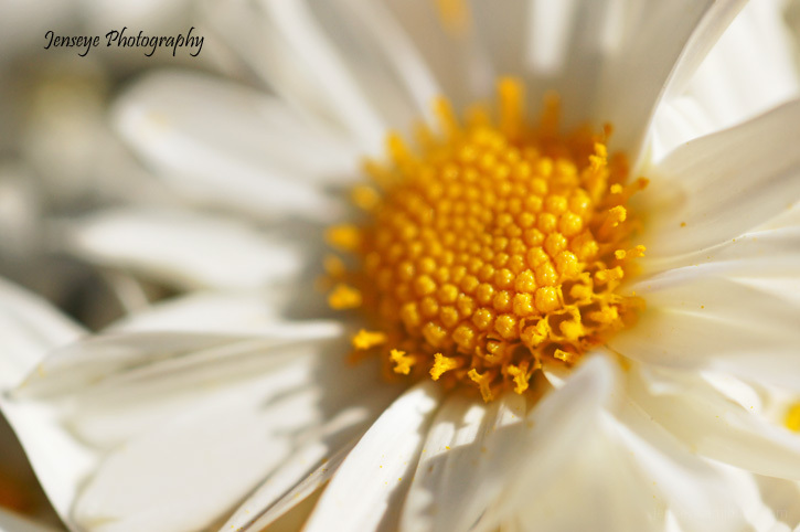 White and Yellow Mum Flower