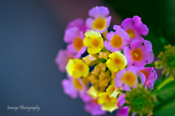 Plants Flowers Lantana Purple Yellow