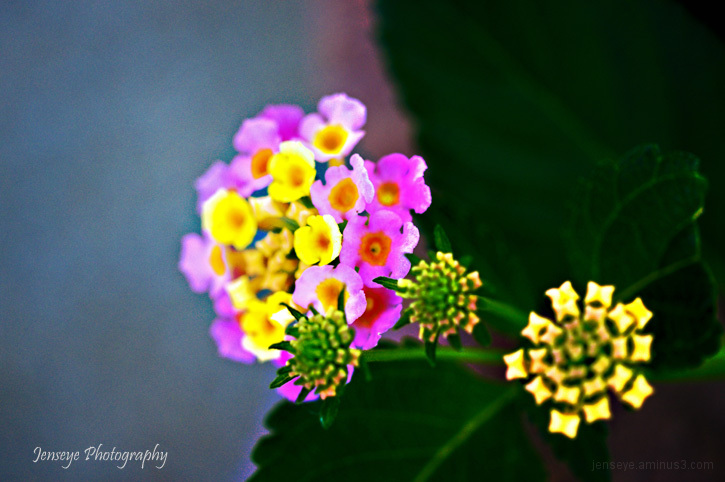 Plant flower lantana purple blue yellow