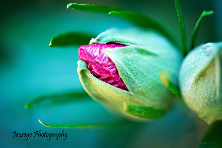 plant flower hibiscus bud pink green