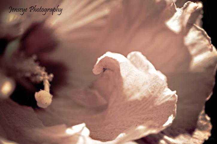 Light Pink Hibiscus Flower