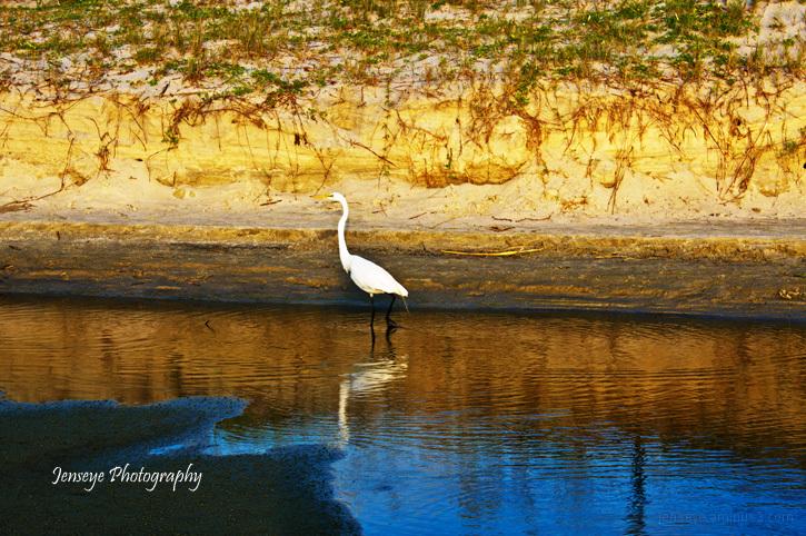 Animal Bird White Egret Low Tide St Simons Island