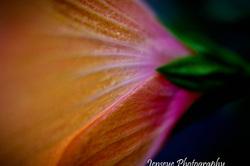 Orange Hibiscus Flower Plant Petals