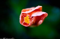 Orange Hibiscus Plant Flower