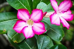 Plant Flower Desert Rose Pink