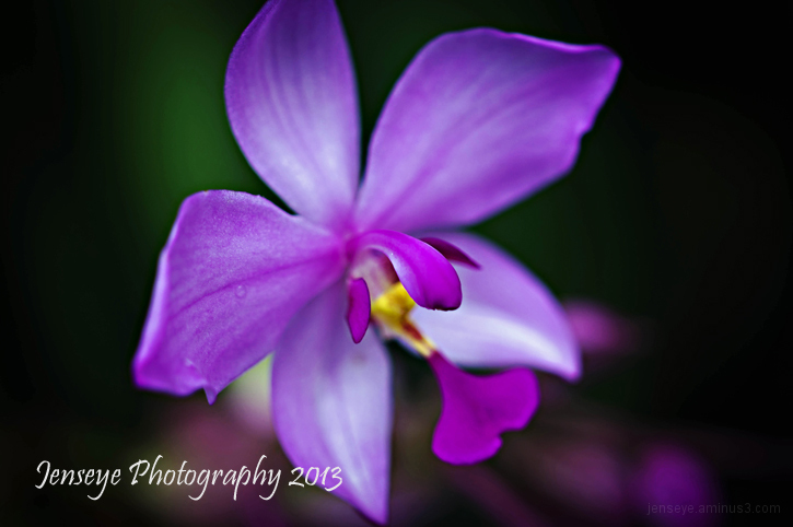 nature flower lilac orchid botanical