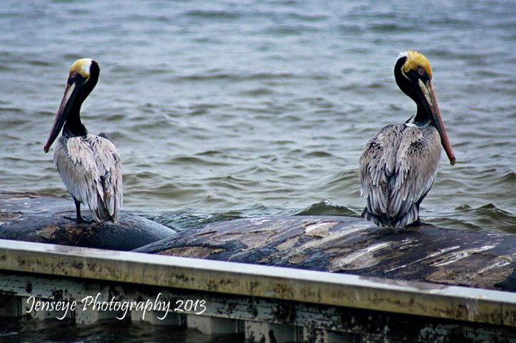 Animal Bird Brown Pelican Cape San Blas Florida