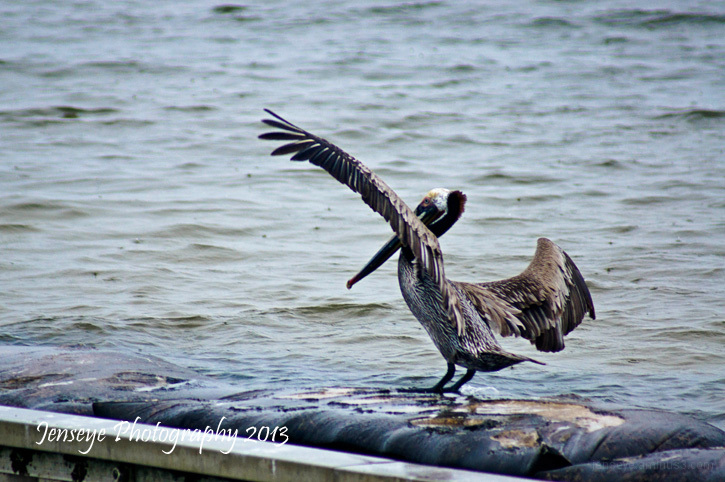 Animal Bird Brown Pelican Cape San Blas Florida