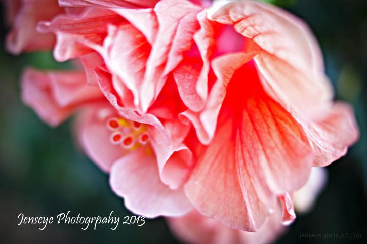 Flower Plant Peach Hibiscus Tropical