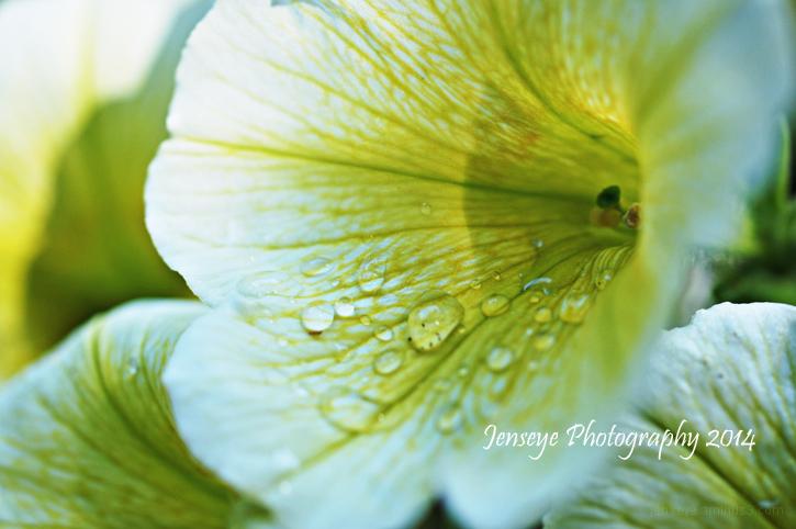 Flowers Yellow Petunia Petals Sun Macro