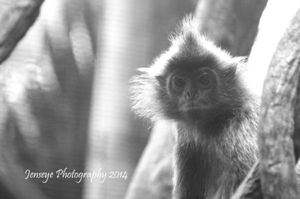 Animal Monkey Silver Leaf Langur San Diego Zoo CA