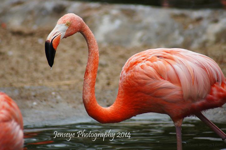 Animal Flamingo Pink Caribbean San Diego Zoo CA