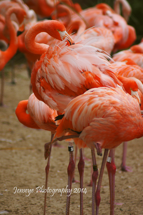 Animal Flamingo Pink Caribbean San Diego Zoo CA
