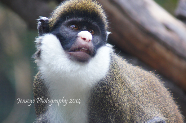 Animal Monkey De Brazza San Diego Zoo California