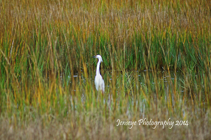 Golden Marsh Egret Bird Coast St Simons Island GA