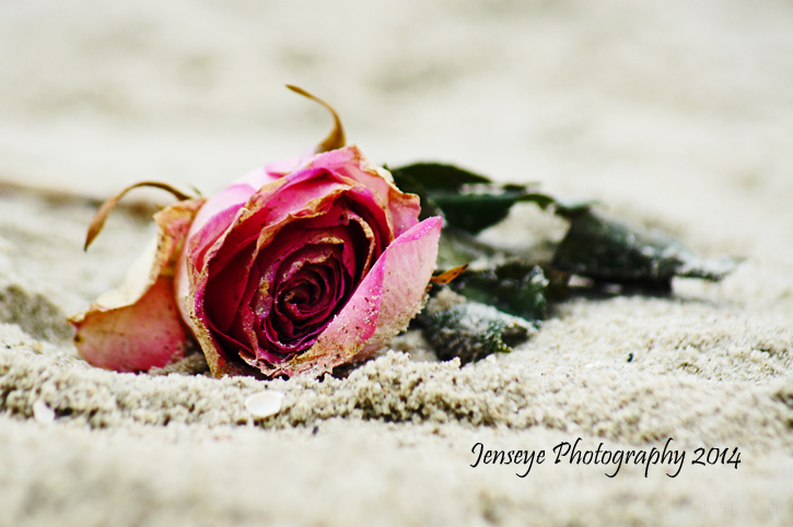 Plant Flower Rose Sand Beach Pink Green Georgia