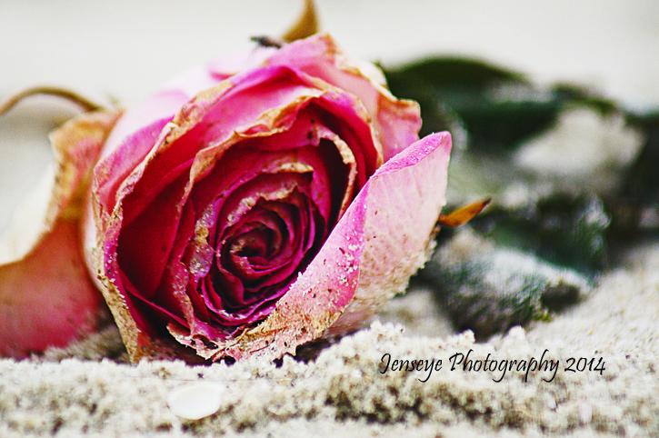 Plant Flower Rose Sand Beach Pink Green Georgia