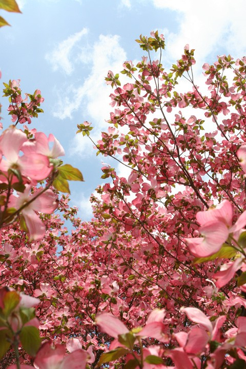 shot during the spring pink flowers on a tree