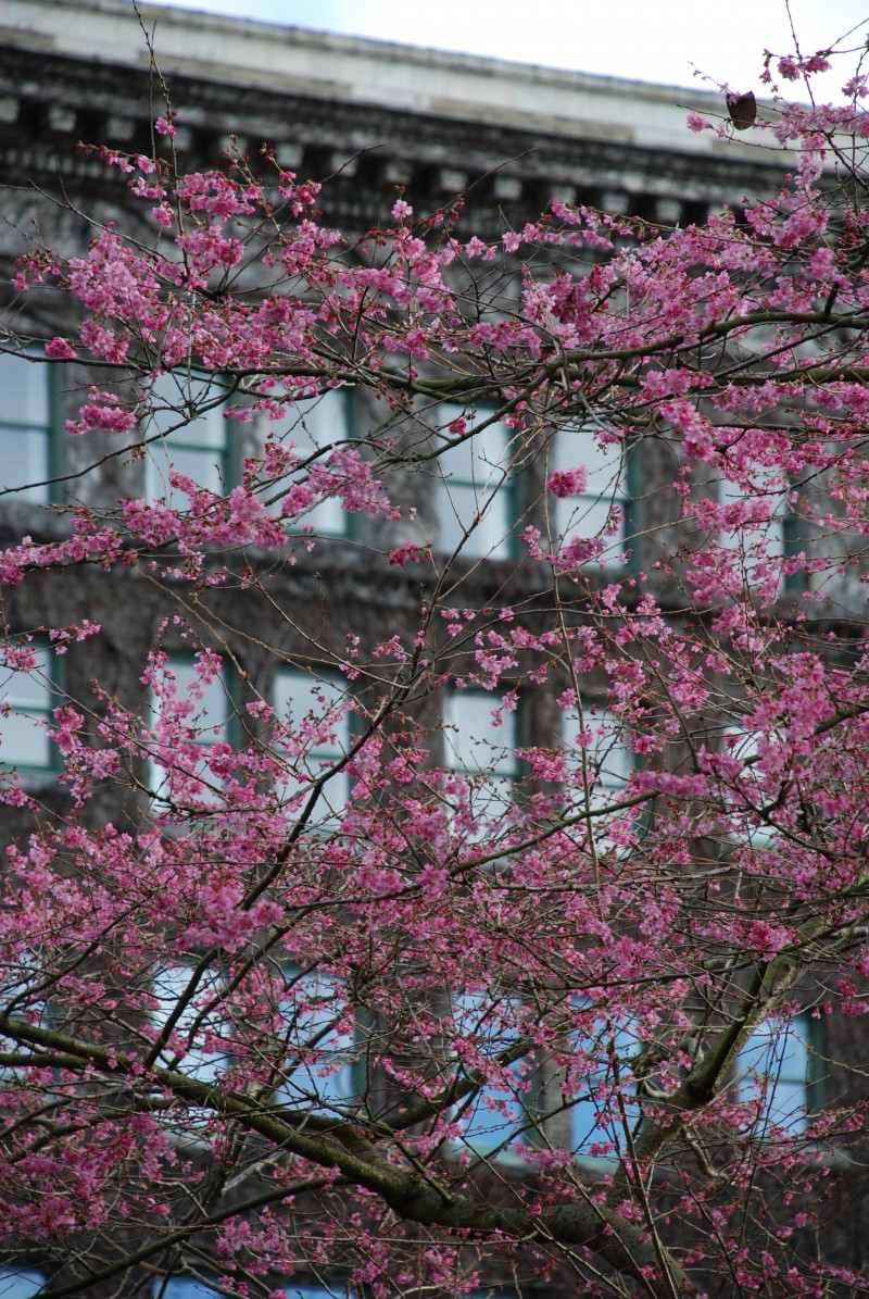 cherry blossoms and The Sylvia