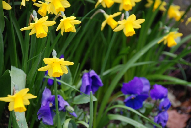 daffodils & pansies