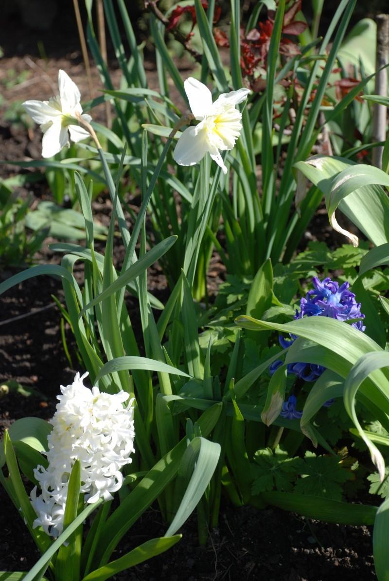 daffodils & hyacinth