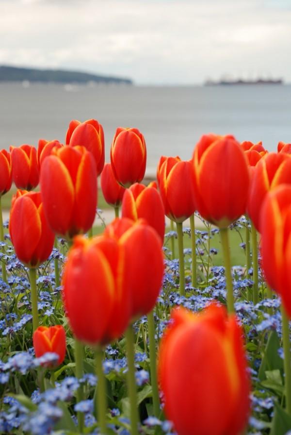 english bay tulips 2
