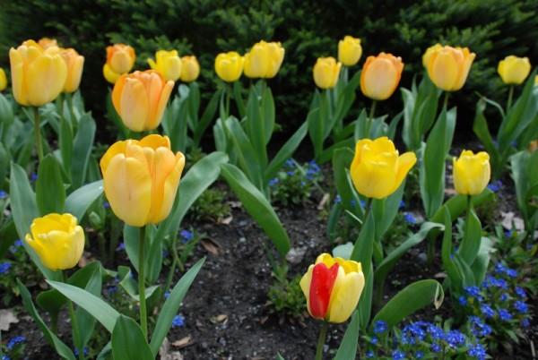 tulip rudolf