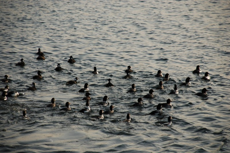 surf scoters and goldeneyes