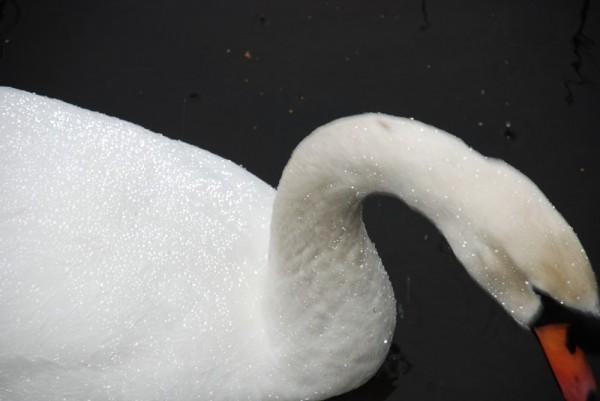 swan and raindrops