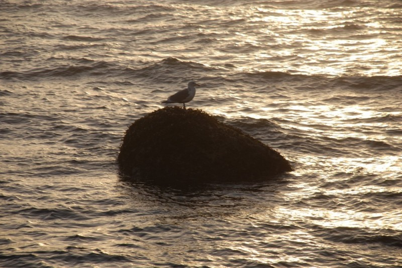 seagull and rock