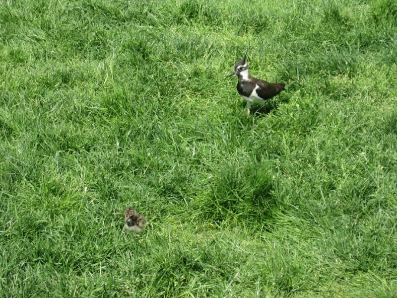 Meadows bird in NL