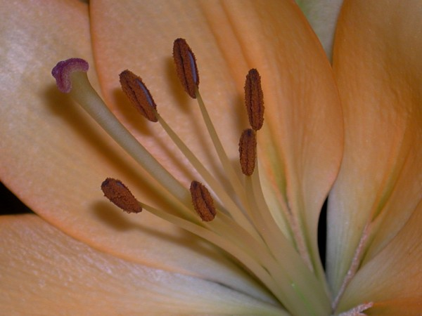 Beautiful peach colored flower in macro