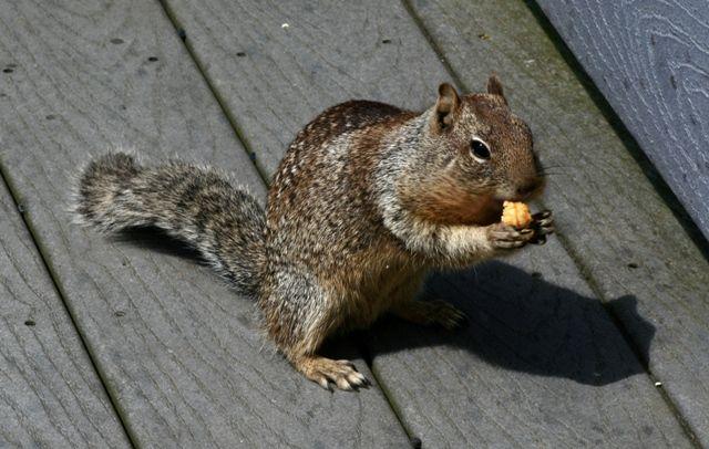 squirrel oregon coast