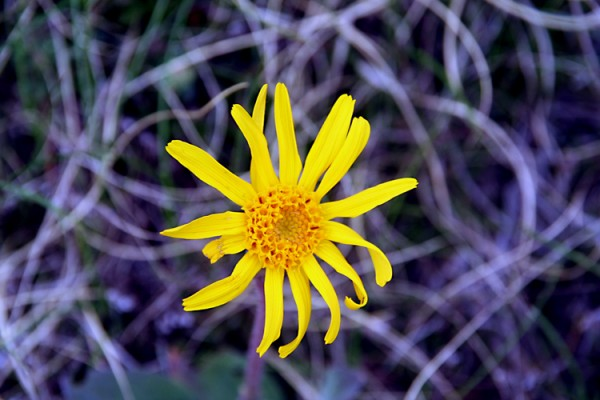 Aiguestortes Flower