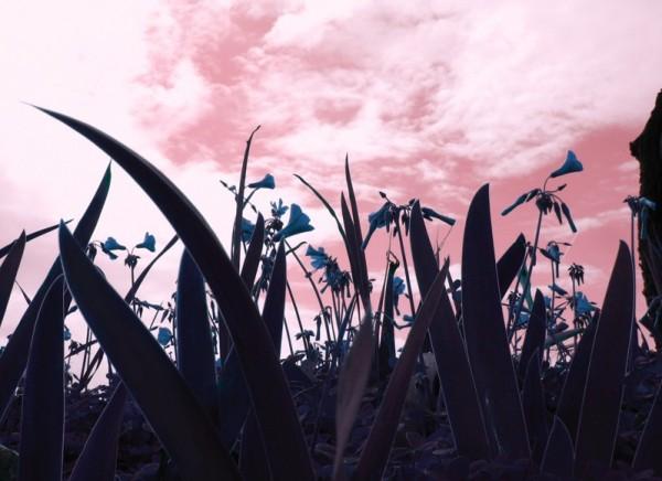 flores azules - cielo rosa