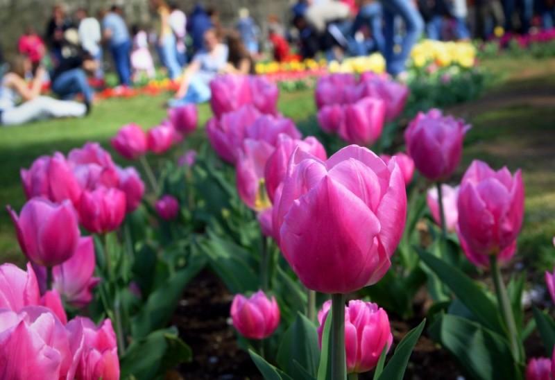 Tulip III