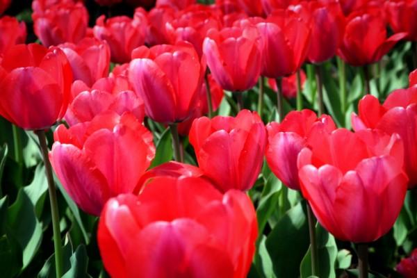 Tulips V