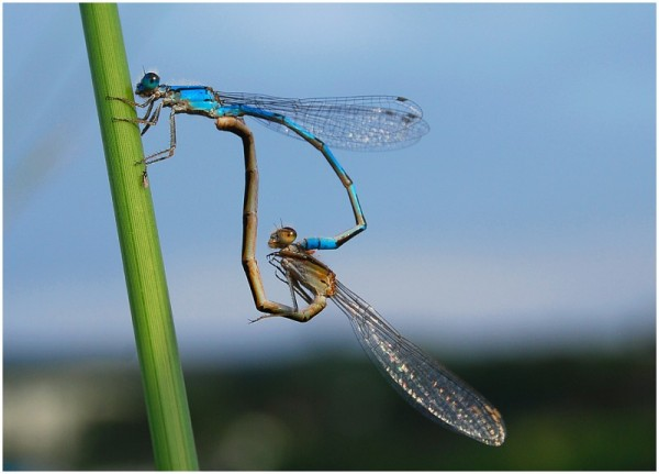 dragon fly love