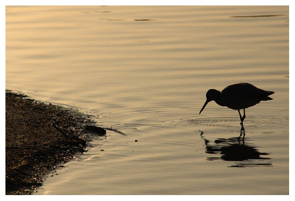 Willet on the Shoreline