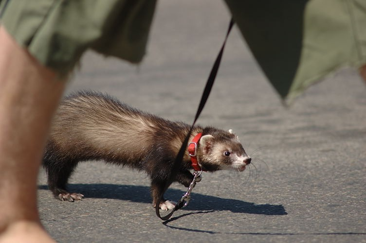 Saskatoon Fringe ferret