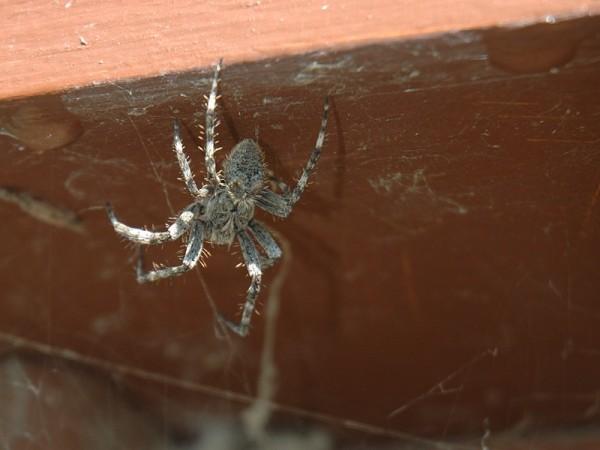 Spider at Air Ronge, Saskatchewan