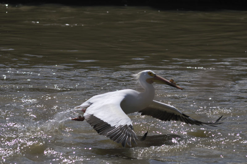 Winged Fisherman