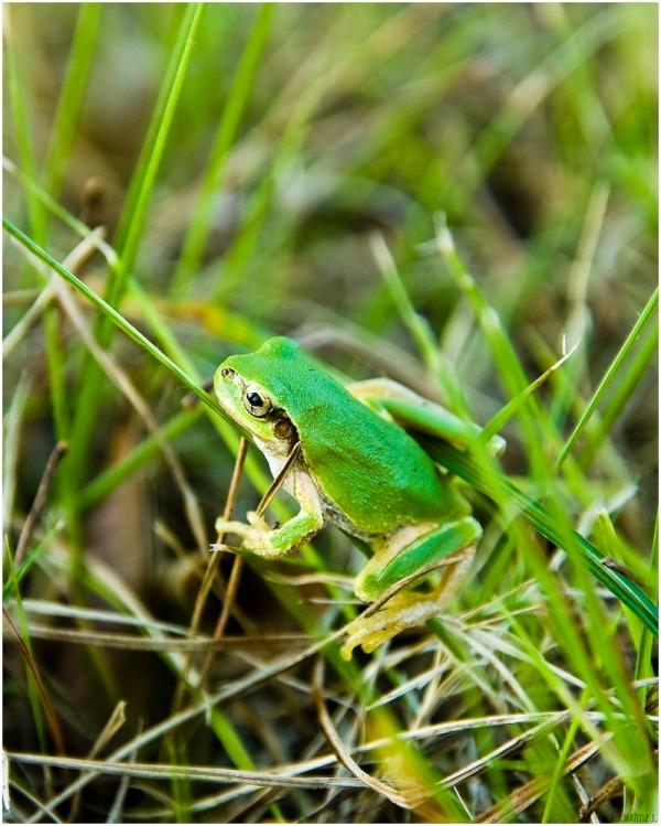 Señor Frog
