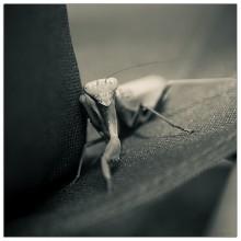 Praying Mantis (II)