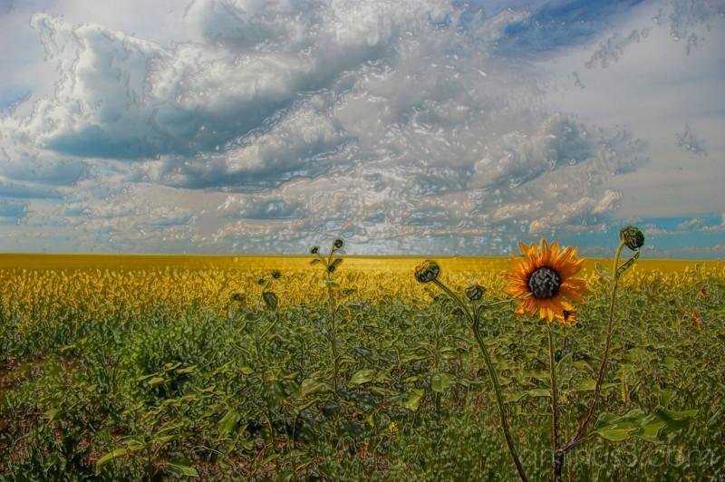 Shrink Wrapped Sunflower