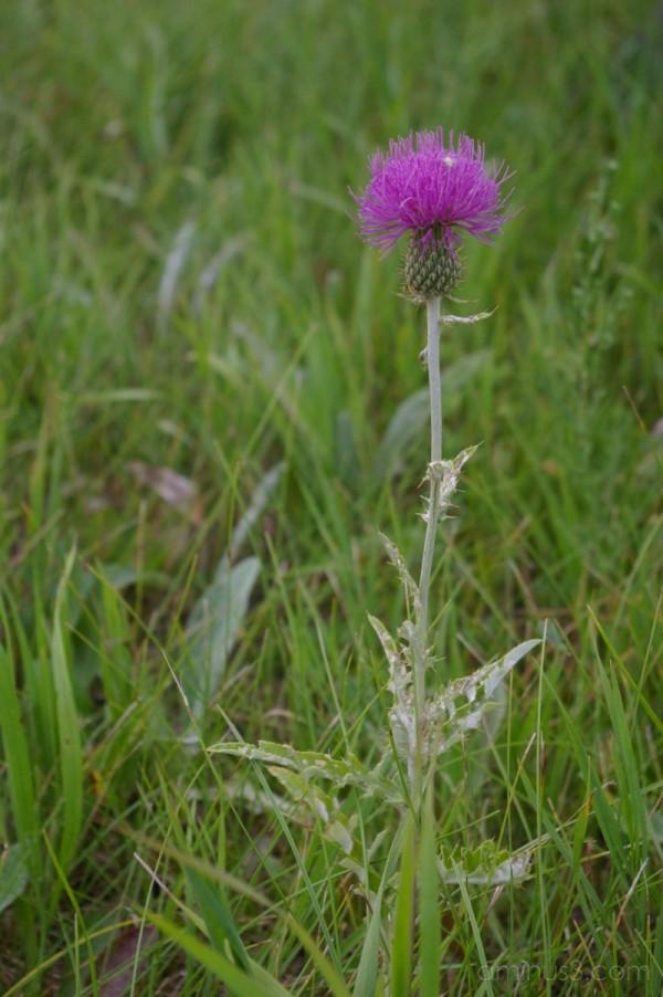 Prickly Wildflower
