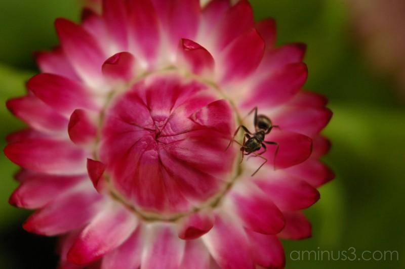 Aunt Ant